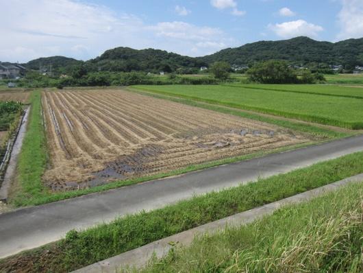 刈取り田.jpg